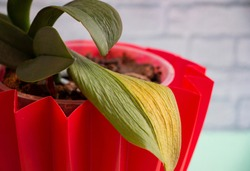 withered green and yellow leaves of orchids in a red pot
