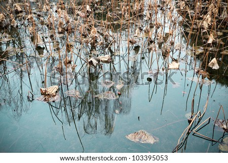 withered lotus in the pond,sad background