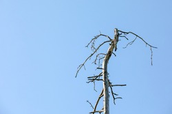 Withered pine tree. Fungus, diseases, insects and weathering. Blue sky and with copy space