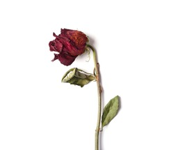Withered red rose on a white background. Template, blank, card for design for St. Valentine's Day. Dead flower as a symbol of broken love.