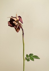 Withered red rose with dry petals on green stem and growing fresh green leaves against natural beige background. Minimal retro dry flower aesthetic concept.