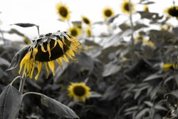 withered sunflower drying.on  color gloom background.