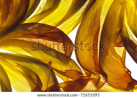 Withered Tulip leaves on white with backlight in studio