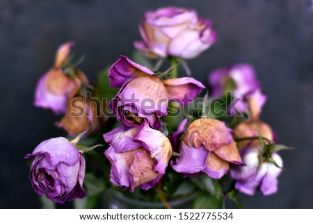 Withered wilted dry dead roses bouquet closeup. Sad faded colors
