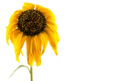 Withered yellow sunflowers on a white background.