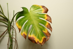 Withering Monstera deliciosa plant leaf. Transition of color. Indoor plant care.
