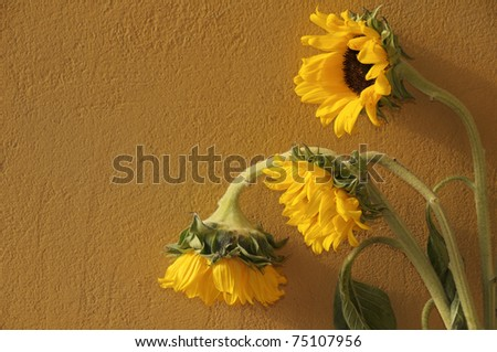 Withering sunflowers on yellow plastering background
