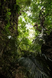 Within the lush tropical jungle of  Iriomote island and its beautiful foliage. Okinawa.