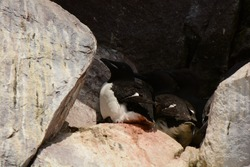 Witless Bay Ecological Reserve, Newfoundland, Canada. 21 June 2015. Thick-billed Murre nesting. Uria lomvia