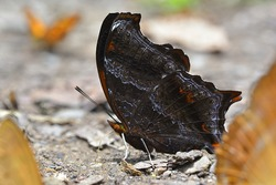 Wizard butterfly dark brown color side view