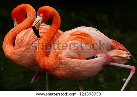 wo colorful flamingos  walking together