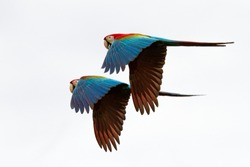 wo red parrots in flight. Macaw flying, white background, isolated birds,red and green Macaw in tropical forest, Brazil, Wildlife scene from tropical nature. Pair of beautiful birds in flying