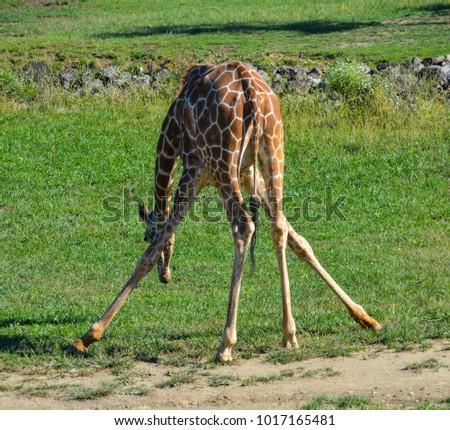wobbling young giraffe #1017165481