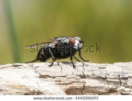 Wohlfahrtia bella moscarda producer of myiasis or mammals in mammals #1443000695