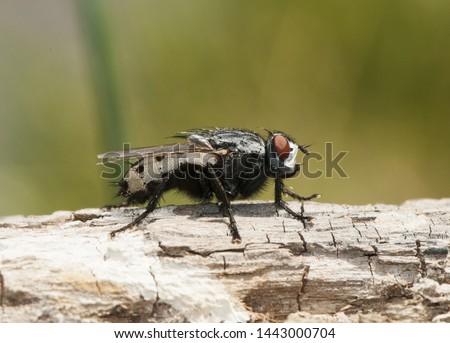 Wohlfahrtia bella moscarda producer of myiasis or mammals in mammals #1443000704