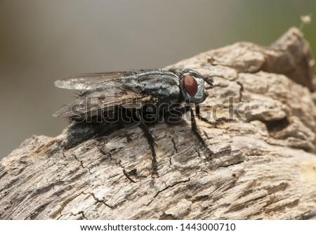 Wohlfahrtia bella moscarda producer of myiasis or mammals in mammals #1443000710