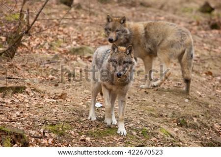 Wolf #422670523