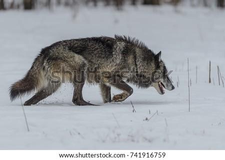 wolf #741916759