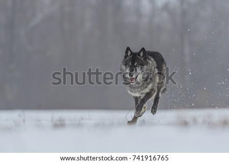 wolf #741916765