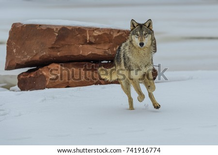 wolf #741916774