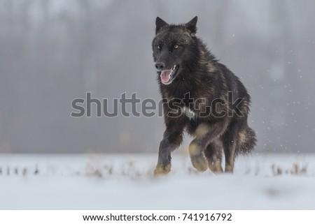 wolf #741916792