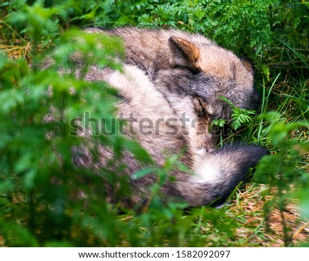Wolf animal close-up profile view sleeping with a foreground and background foliage focus at the background  in the forest displaying displaying its fur coat, ears, close eyes, tail.