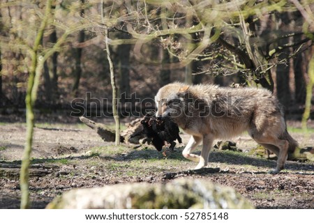 wolf carrying a lamb