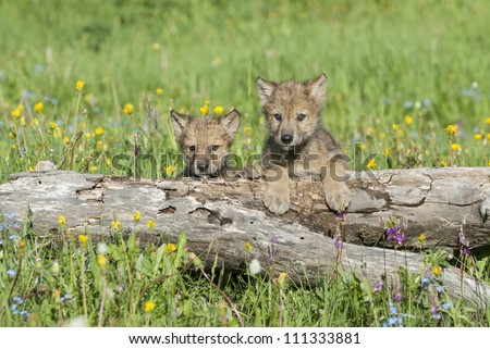 Wolf cubs photographed near their den in Montana