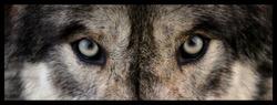 wolf eyes close up