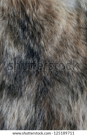 wolf fur texture of the gray wolf skin