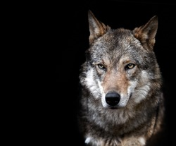 Wolf, gray, angry