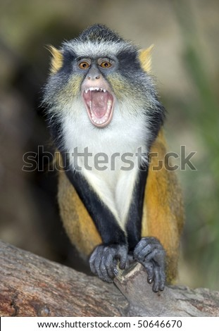 wolf guenon monkey female mouth open screeching screaming showing teeth, africa. exotic looking similar devil gremlin multi colored primate
