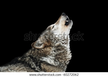 Wolf howl. Isolated on a black background