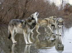 Wolf Howling with Pack mates