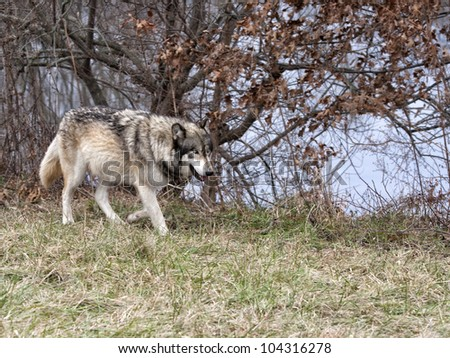 Wolf Hunting by the River
