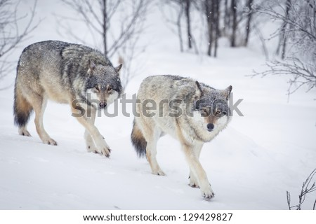 Wolf in a norwegian winter forest. Snowing. - stock photo