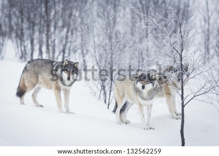 Wolf in a norwegian winter forest. Snowing.