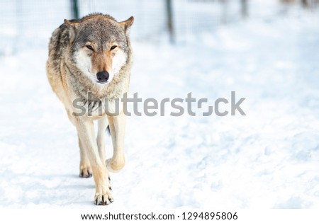 Wolf In