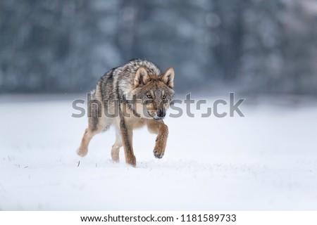 wolf in snow, stalking wolf in snow, wolf running in snow, wolf in winter  #1181589733