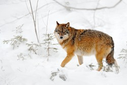 Wolf in snowy rock mountain, Europe. Winter wildlife scene from nature. Gray wolf, Canis lupus with rock in the background. Cold snow season in nature, Germany wildlife.