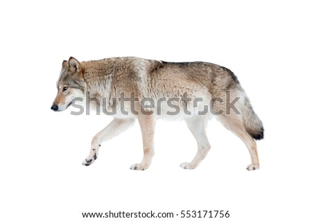 wolf isolated over a white...