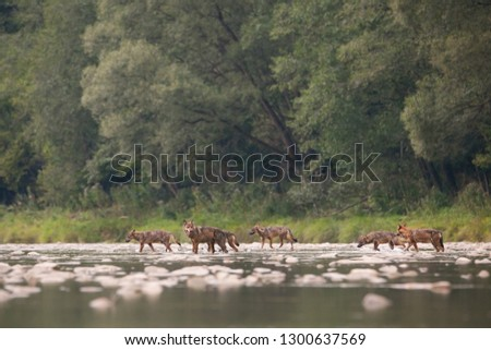 Wolf pack, canis lupus, of seven crossing river in wilderness. Wildlife nature scenery of group of animals moving across water stream. Animal predators on a hunt #1300637569