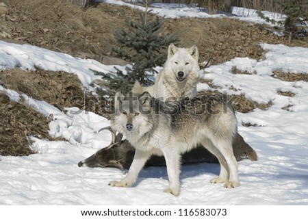 Wolf pack has killed its prey