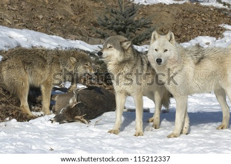 Wolf pack with their kill