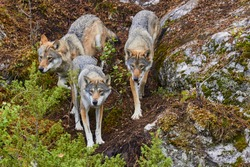 Wolf pack, wolves attacking, hunt