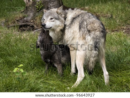 Wolf Pup Playing with Mom