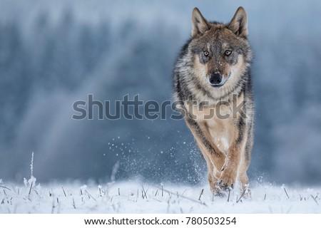Wolf runnin in snow
