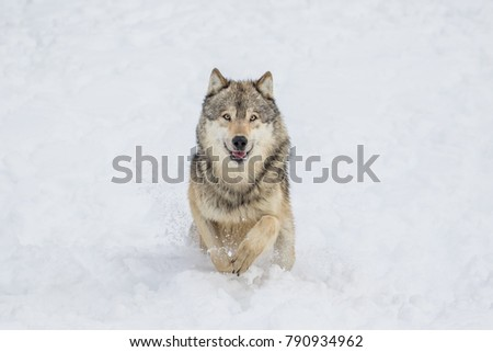 Wolf running in the snow #790934962