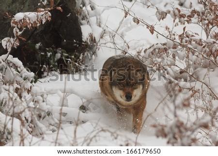 stock-photo-wolf-running-very-fast-for-u