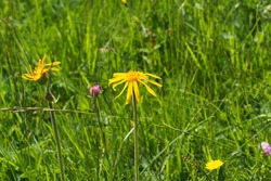 Wolf's bane, leopard's bane, mountain tobacco and mountain arnica, Arnica montana. Medicinal plant. Seiser Alm, Dolomites, South Tyrol.